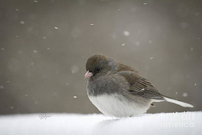 Photograph - Junco Snow Bunny by Cris Hayes