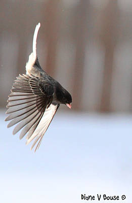 Junco Wing Dive Art Print by Diane V Bouse