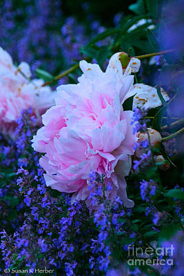Photograph - June Peony by Susan Herber