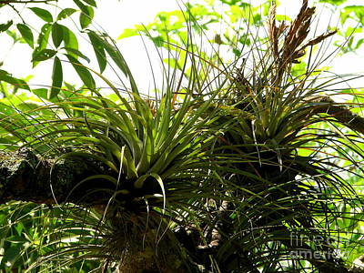 Photograph - Jungle Air Plants by Lew Davis