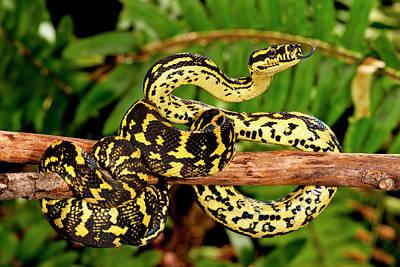 Burmese Python Wall Art - Photograph - Jungle Carpet Python, Morelia Spilotes by David Northcott