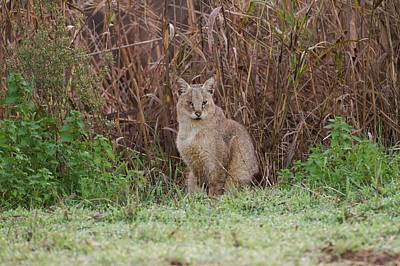 Lynx Photograph - Jungle Cat (felis Chaus) In The Wild by Photostock-israel