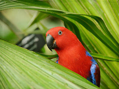 Eclectus Parrot Photograph - Jungle Mata Hari 3 by Fraida Gutovich