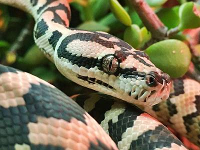 Garden Snake Photograph - Jungle Python by Kelly Jade King
