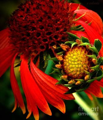 Gaillardia Photograph - Junior by Chris Berry