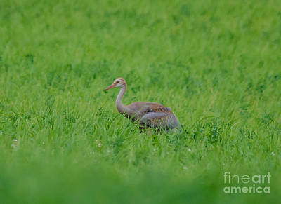 Photograph - Junior Crane by Cheryl Baxter