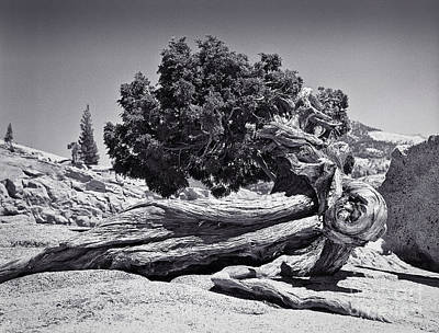 Photograph - Juniper At Olmsted Point - Yosemite by John Waclo