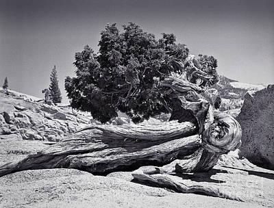 Photograph - Juniper At Olmsted Point - Yosemite by John Waclo
