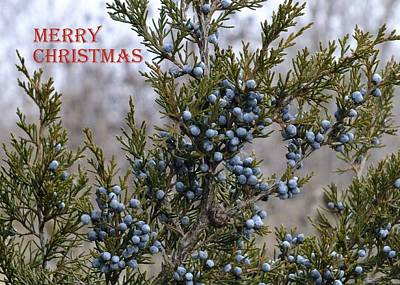 Photograph - Juniper Berries - Merry Christmas by Peggy King