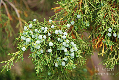 Photograph - Juniper Berries by Mary Carol Story