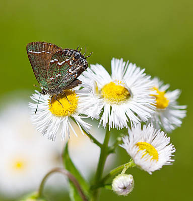 The Rolling Stones Royalty Free Images - Juniper Hairstreak Butterfly Royalty-Free Image by Melinda Fawver