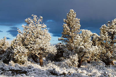 Juniper Trees In Snow Art Print by Chris Scroggins