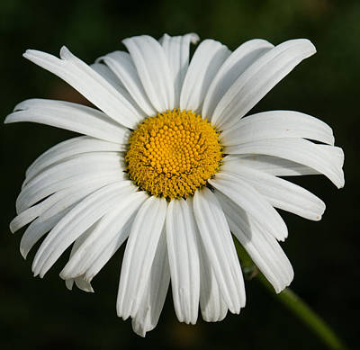 Photograph - Just A Daisy - Crisp White And Beautiful  by Georgia Mizuleva