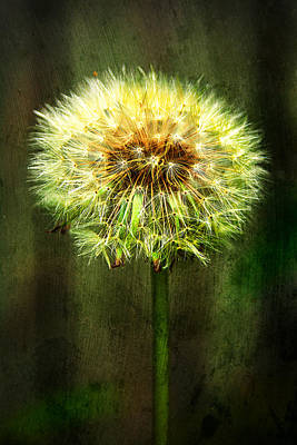 Flower Blooms Photograph - Just A Dandy Lion by Jon Woodhams