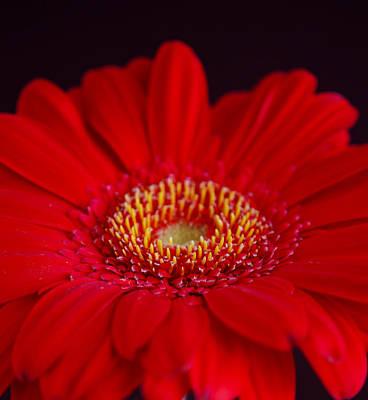 Gerber Daisy Photograph - Just A Little Closer by Melanie Moraga