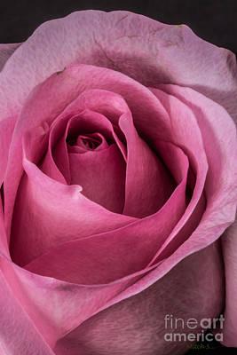 Just A Rose Art Print by Mitch Shindelbower