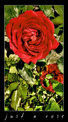 Photograph - Just A Rose by Weston Westmoreland