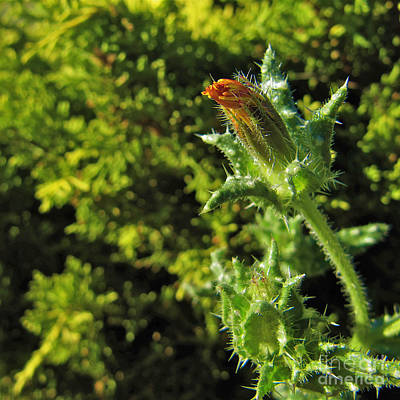 Shadow Photograph - Just About To Bloom by CML Brown