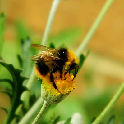 Just Being A Bee Art Print by Sharon Lisa Clarke