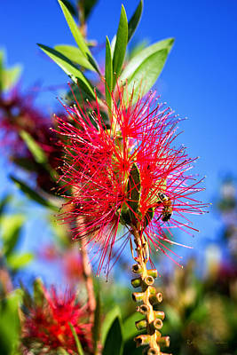 Crimson Bottlebrush Photograph - Just Checking This Out by Rudy P-Serrano
