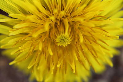 Photograph - Just Dandy by Sarah Boyd