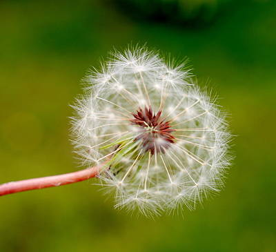 Photograph - Just Dandy by Tricia Marchlik