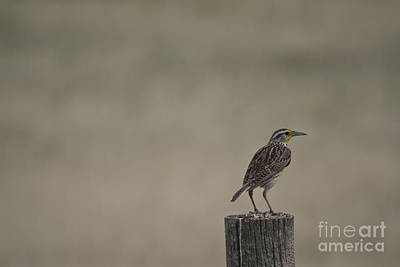 Western Meadowlark On A Fence Post Art Print
