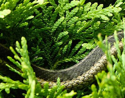 Garter Snake Photograph - Just Passing Through... by Rhonda Barrett