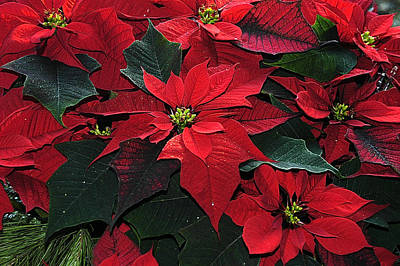Art Print featuring the photograph Just Poinsettia's by Geraldine Alexander