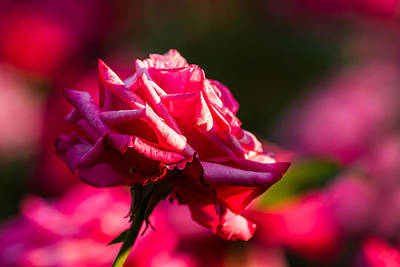 Single Rose Stem Photograph - Just The Rose - Featured 3 by Alexander Senin