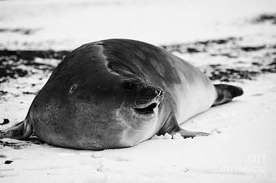 juvenile 2 year old elephant seal calling hannah point livingstone island Antarctica Art Print by Joe Fox