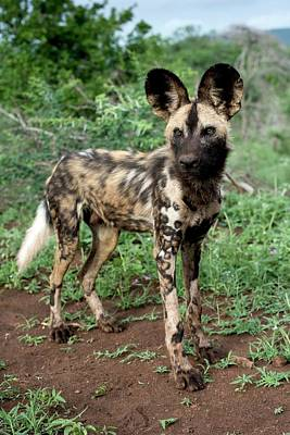 Juvenile African Hunting Dog Art Print by Tony Camacho/science Photo Library