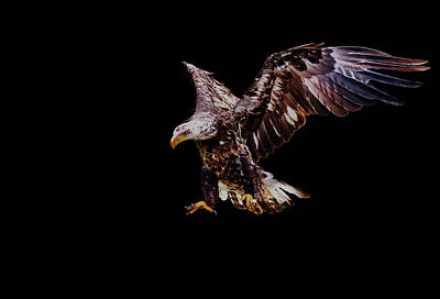 Eagle Photograph - Juvenile American Bald Eagle In-flight by Haydn Bartlett Photography