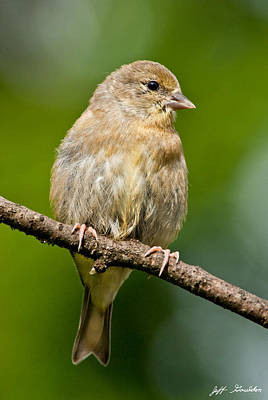 Juvenile American Goldfinch Art Print by Jeff Goulden