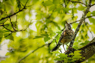 Photograph - Juvenile American Robin by  Onyonet  Photo Studios