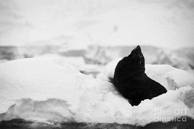 juvenile antarctic fur seal Arctocephalus gazella looking up stretching exaggerating size  floating  Art Print