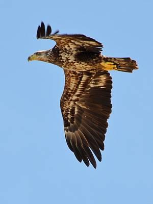 Photograph - Juvenile Bald Eagle Close Up In Flight by Jeff at JSJ Photography