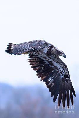 Hawk Photograph - Juvenile Bald Eagle Fishing At Prairie Du Sac by Natural Focal Point Photography