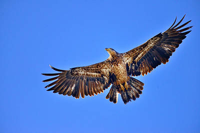 Photograph - Juvenile Bald Eagle In Flight by Greg Norrell