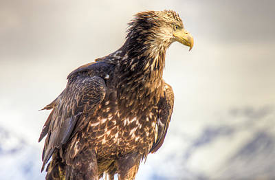 Photograph - Juvenile Bald Eagle In Homer Alaska by Natasha Bishop