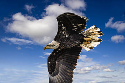 Photograph - Juvenile Bald Eagle by Jack R Perry