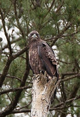 Photograph - Angry Bird - Juvenile Bald Eagle by John Black
