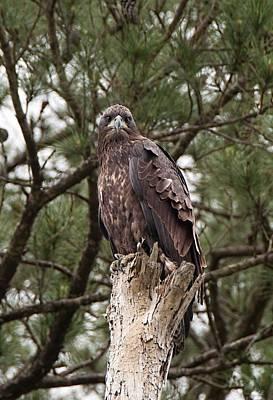 Photograph - Angry Bird - Juvenile Bald Eagle by John Black