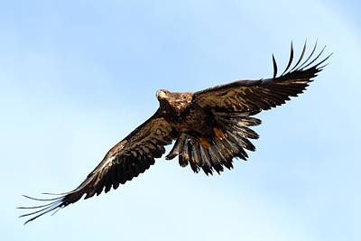 Photograph - Juvenile Bald Eagle by Mike Farslow