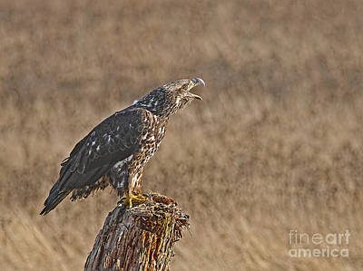 Photograph - Juvenile Bald Eagle On Stump 2 by Sharon Talson