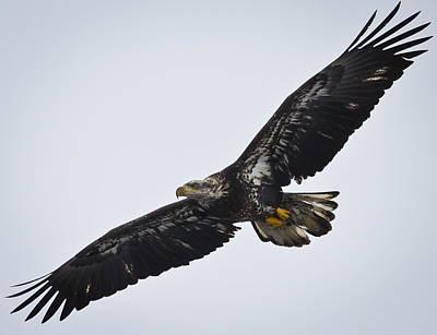 Photograph - Juvenile Bald Eagle by Ricky L Jones