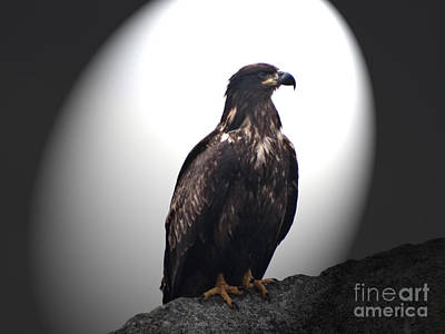Photograph - Juvenile Bald Eagle Year 1 by Gena Weiser