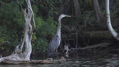 Juvenile Blue Heron At Manistee National Park Art Print by Rosemarie E Seppala