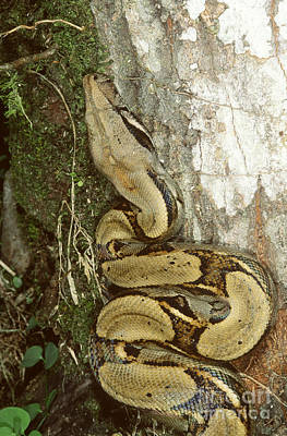 Boa Constrictor Photograph - Juvenile Boa Constrictor by Gregory G. Dimijian, M.D.
