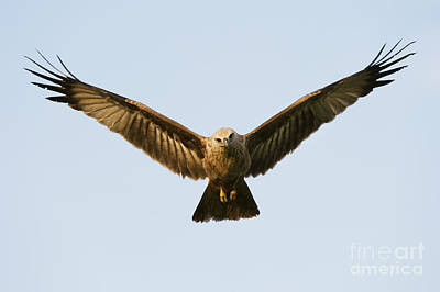 Juvenile Brahminy Kite Hovering Art Print by Tim Gainey